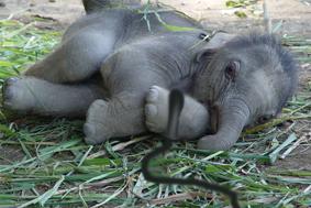 elefantico-amarrado