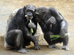 chimpances2