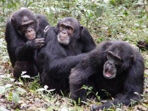 cimpances1