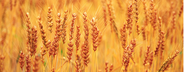 trigo-abundancia
