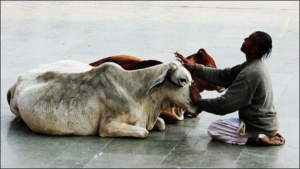 lider-vaca-sagrada