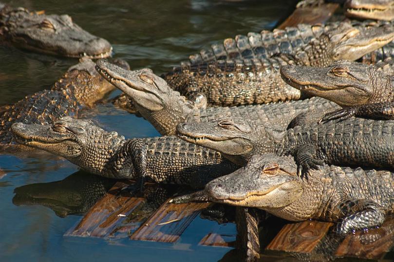 Piscina-cocodrilos