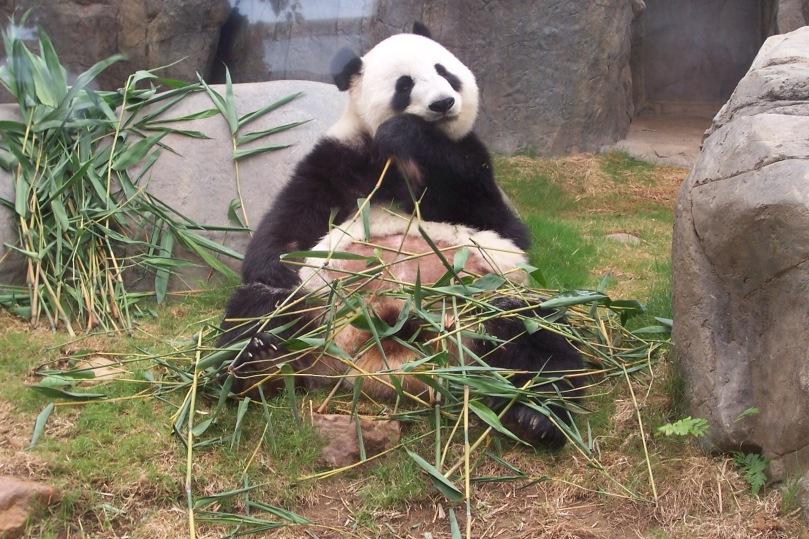 Oso Panda comiendo Bambú plácidamente. Una clara imagen del ocio. Ocean Park, Hong Kong, mayo de 2011